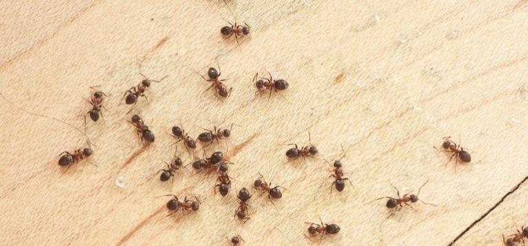 Ants-this-Season